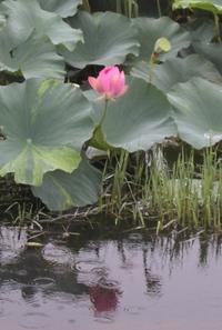 Lotus001_2